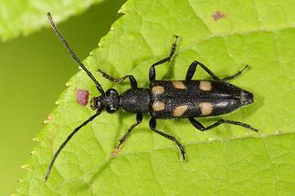 Anoplodera sexguttata - Gefleckter Halsbock