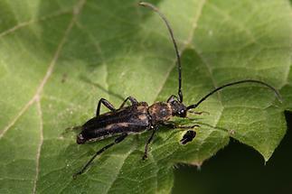 Anoplodera sexguttata - Gefleckter Halsbock, Käfer auf Blatt