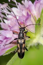 Anoplodera sexguttata - Gefleckter Halsbock, Männchen auf Ackerwitwenblume