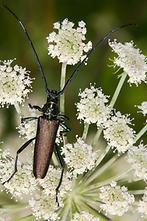 Aromia moschata - Moschusbock, Käfer auf Dolde