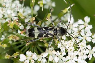 Chlorophorus figuratus - Schulterfleckiger Widderbock, Käfer auf Blüten (1)