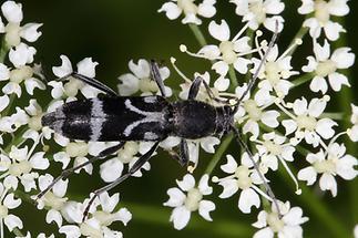Chlorophorus figuratus - Schulterfleckiger Widderbock, Käfer auf Blüten (2)