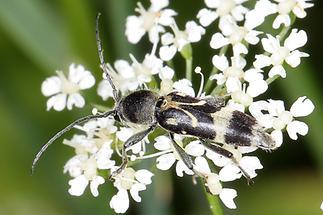 Chlorophorus figuratus - Schulterfleckiger Widderbock, Käfer auf Blüten (3)
