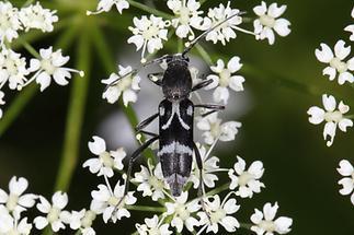 Chlorophorus figuratus - Schulterfleckiger Widderbock, Käfer auf Blüten (4)