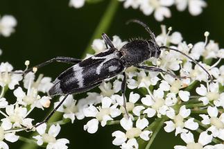 Chlorophorus figuratus - Schulterfleckiger Widderbock, Käfer auf Blüten (5)