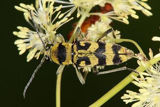 Chlorophorus varius - Variabler Widderbock, Käfer auf ...