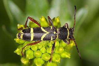 Clytus arietis - Echter-, Gemeiner Widderbock, Käfer auf ...