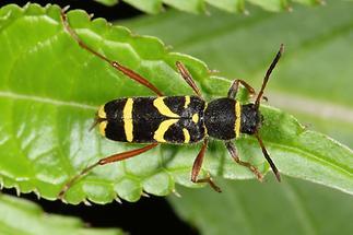 Clytus arietis - Echter-, Gemeiner Widderbock, Käfer auf Blatt (1)