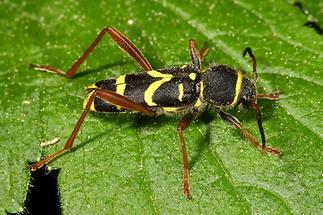Clytus arietis - Wespenbock, Käfer auf Blatt (2)