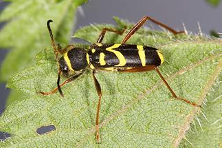 Clytus arietis - Echter, Gemeiner Widderbock, Käfer auf Blatt (3)