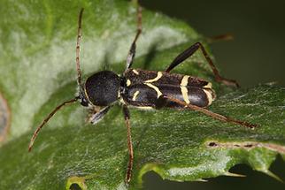 Clytus lama - Schmalfühleriger Widderbock, Käfer auf Blatt (1)