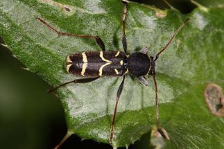 Clytus lama - Schmalfühleriger Widderbock, Käfer auf Blatt (2)