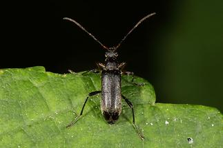 Cortodera femorata - Schwarzer Tiefaugenbock, Käfer auf Blatt (1)