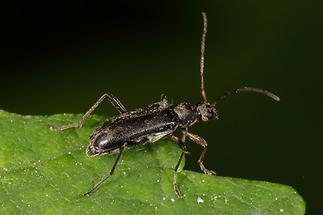 Cortodera femorata - Schwarzer Tiefaugenbock, Käfer auf Blatt (2)