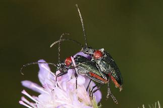 Gaurotes virginea - Blaubock, Käfer Paar