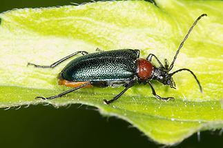 Gaurotes virginea - Blaubock, Käfer auf Blatt (1)
