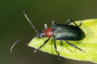 Gaurotes virginea - Blaubock, Käfer auf Blatt (2)