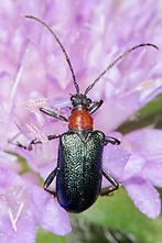 Gaurotes virginea - Blaubock, Käfer auf Blüte (1)