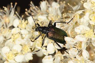 Gaurotes virginea - Blaubock, Käfer mit schwarzem Halsschild (1)