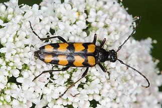 Leptura quadrifasciata Vierbindiger Schmalbock - kein dt. Name bekannt, Käfer auf Blüten