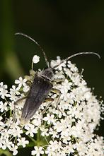 Lepturabosca virens - Dichtbehaarter Halsbock, Käfer auf Blüten