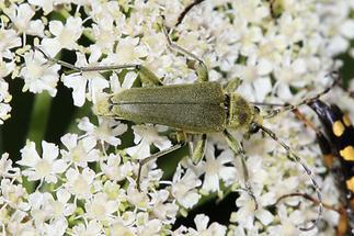 Lepturobosca virens - Dichtbegaarter Halsbock, Käfer auf Dolde (1)