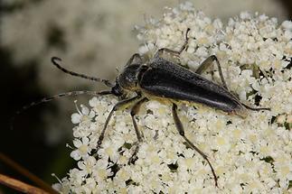 Lepturabosca virens - Dichtbehaarter Halsbock, Käfer auf Dolde (2)