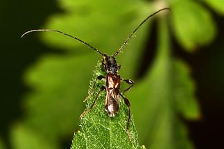 Molorchus minor - Dunkelschenkeliger Kurzdeckenbock, Käfer auf Blattspitze