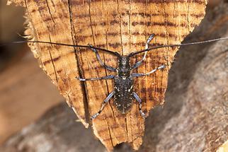 Monochamus sutor - Schusterbock, Männchen zugeflogen (1)