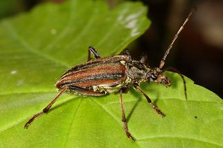 Oxymirus cursor - Schulterbock, Käfer auf Blatt