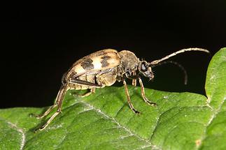 Pachytodes cerambyciformis - Gefleckter Blütenbock, Käfer auf Blatt