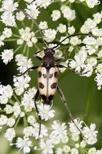 Pachytodes cerambyciformis - Gefleckter Blütenbock, Käfer auf Blüten