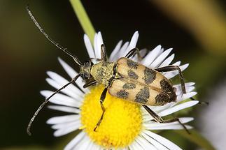 Pachytodes cerambyciformis - Gefleckter Blütenbock, Käfer auf Gänseblümchen