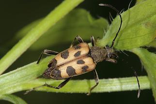 Pachytodes cerambyciformis - Gefleckter Blütenbock, Käfer auf Stiel