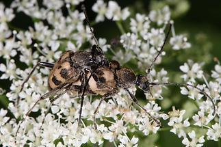Pachytodes cerambyciformis - Gefleckter Blütenbock, Paar (1)