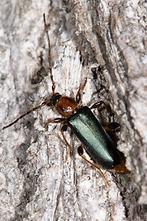 Phymatodes testaceus - Veränderlicher Scheibenbock, Käfer auf Baumrinde
