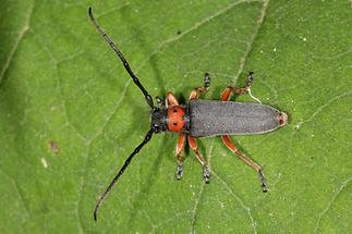Phytoecia nigripes - Schwarzfüßiger Walzenhalsbock, Käfer auf Blatt (2)