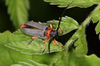 Phytoecia nigripes - Schwarzfüßiger Walzenhalsbock, Käfer auf Blatt (3)