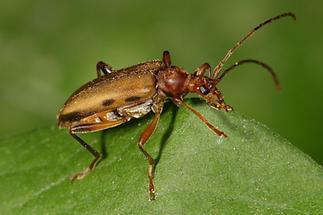 Pidonia lurida - Bleichgelber Schnürhalsbock, Käfer auf Blatt (2)