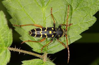Plagionotus arcuatus - Eichenwidderbock, Wespenbock, Käfer auf Blatt