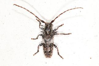 Pogonocherus fasciculatus - Gemeiner Wimpernbock, Kiefernzweigbock, Käfer auf Klostermauer (2)