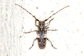 Pogonocherus fasciculatus - Gemeiner Wimpernbock, Kiefernzweigbock, Käfer auf Klostermauer (3)