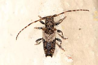 Pogonocherus hispidus - Dorniger Wimpernbock, Käfer auf Klostermauer (1)