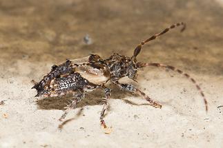Pogonocherus hispidus - Dorniger Wimpernbock, Käfer auf Klostermauer (2)