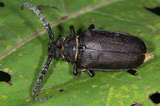 Prionus coriarius - Sägebock, Gerberbock, Käfer umgedreht tot