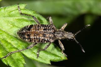 Rhagium inquisitor - Schrotbock, Käfer auf Blatt