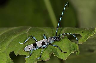 Rosalia alpina - Alpenbock, Käfer auf Blatt
