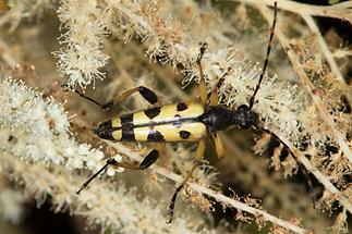 Rutpela maculata - Gefleckter Schmalbock, Käfer auf ...