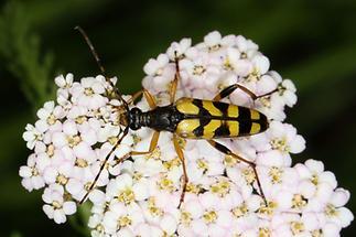 Rutpela maculata - Gefleckter Schmalbock, Käfer auf Blüten (1)