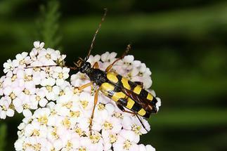 Rutpela maculata - Gefleckter Schmalbock, Käfer auf Blüten (2)